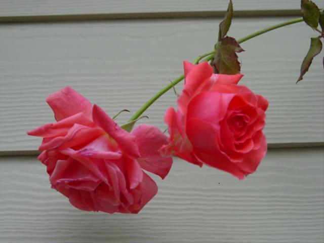 Roses in snowjan09