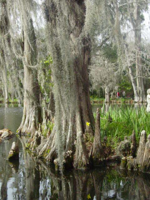 Blog cypress knees mag gardens