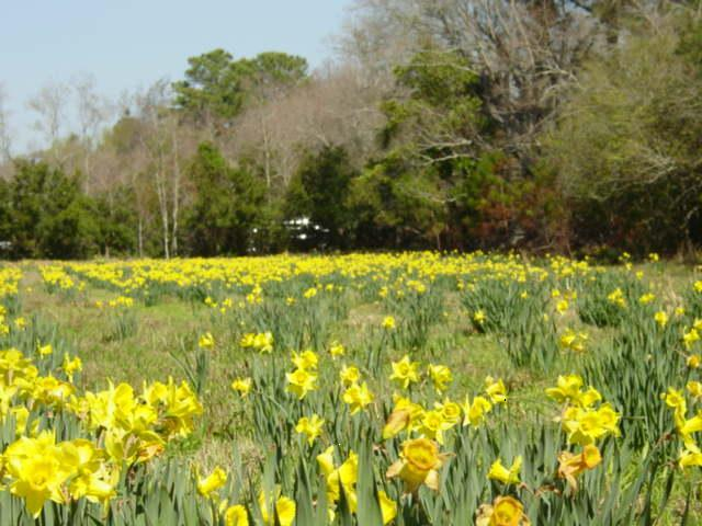 Blog daffodil farm4