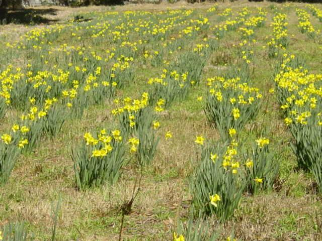 Blog daffodil farm3