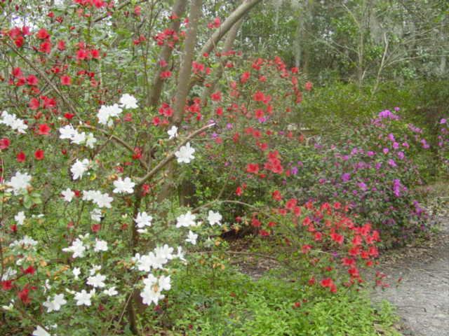 Blog azaleas