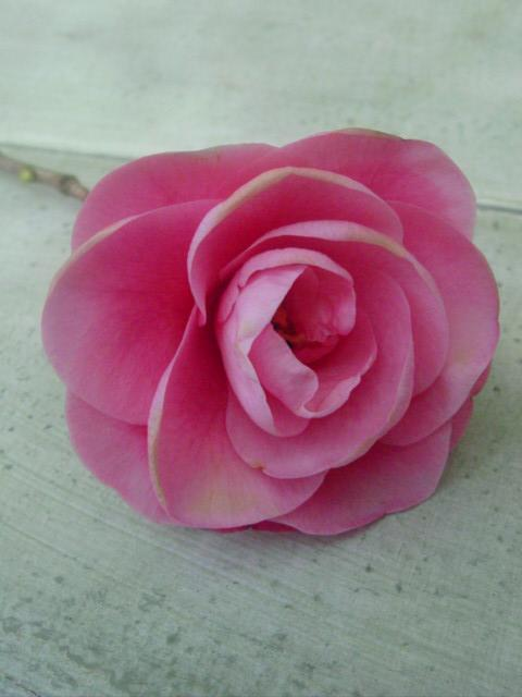 Blog camelia blossom