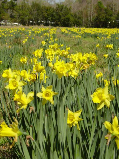 Blog daffodil farm5
