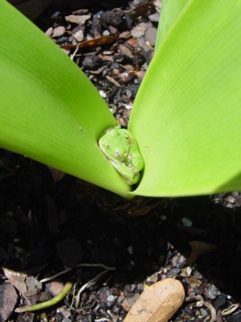 Blog tree frog in amaryllis