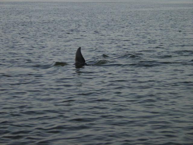 Blog coosaw island dolphin 1
