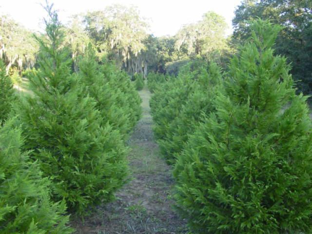 Tree farm 09