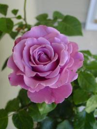 Causey_rose_2