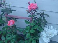 Climbing_rose