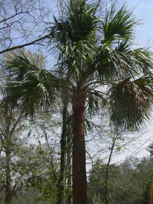 Causey_palm_tree