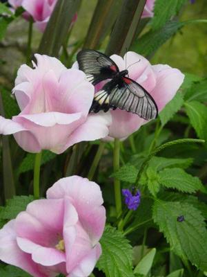 Butterfly_garden_canada_tulips