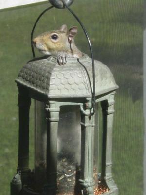 Squirrel_in_feeder_2