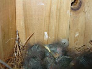 Baby_birds1
