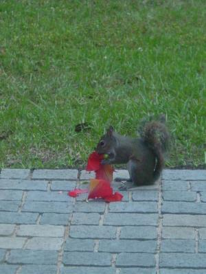 Squirrel_eating_hibiscus