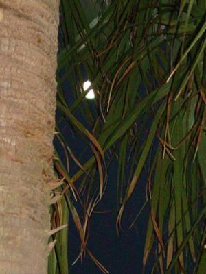Moon_through_the_palms
