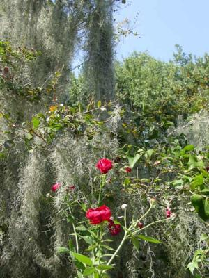 Blog_roses_and_moss